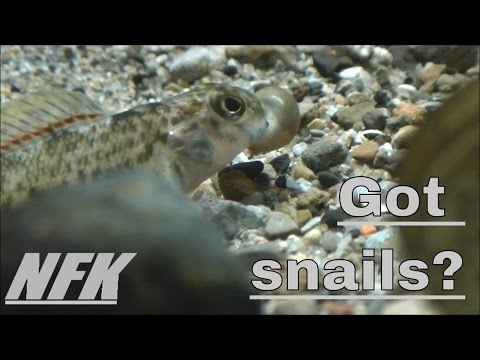 Rainbow Darter And Greenside Darter Eating Snails