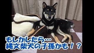 柴犬には5種類いるって知ってましたか?面白い特徴をもった珍しい柴犬も...