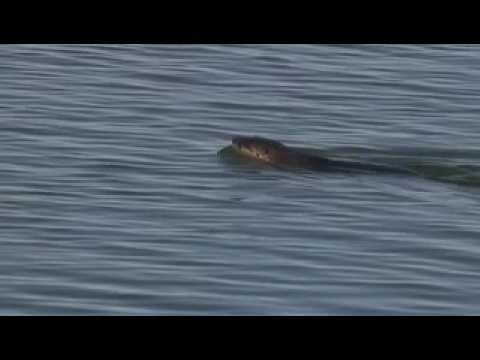 River Otters Catch A Monster Carp