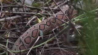 Phython VS Cobra full video