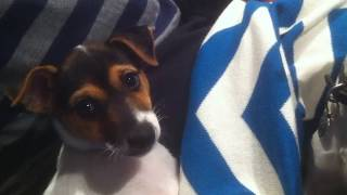 Tenterfield Terrier play with new puppy, turn sound up :)