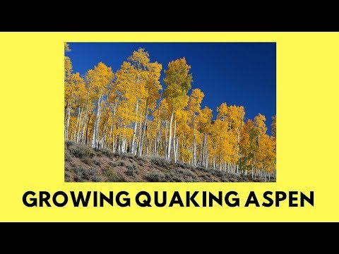 Seeds That Grow In ONE DAY!! (Growing Quaking Aspen)