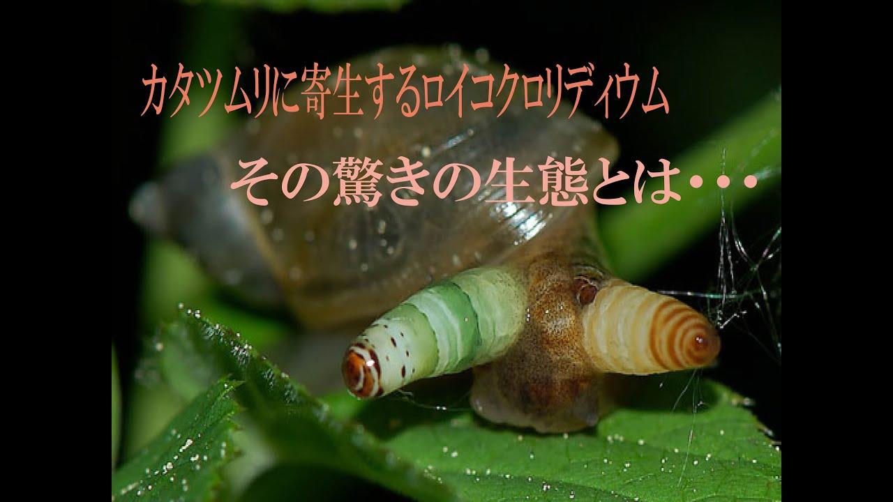 カタツムリ の 寄生 虫 ロイコクロリディウム - Wikipedia