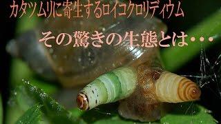 カタツムリをゾンビ化!?驚きの寄生虫の生態とは・・・ 広東住血線虫 検索動画 25