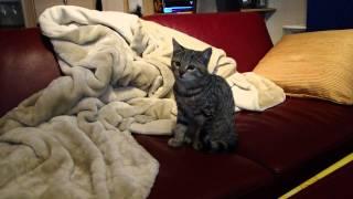 A Savannah-Bengal Mix Kitten