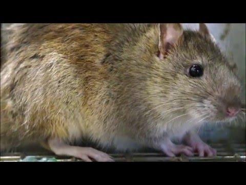 Rat Trap with a LIVE Norway RAT, my Best Bait, Rat Facts, Rat Noises