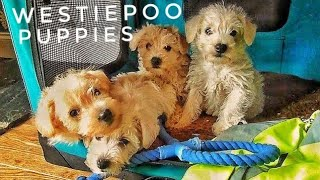 Westipoo (weepoo) Puppies