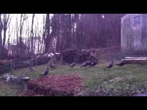 Wild Turkeys at Sugar Maple Hill