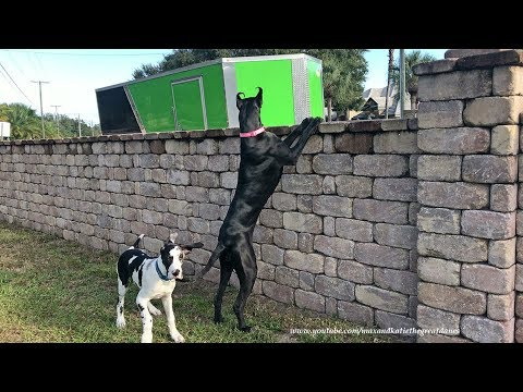 Funny Great Dane and Puppy on Neighborhood Watch Security Patrol