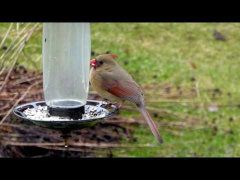 Femelle cardinal rouge
