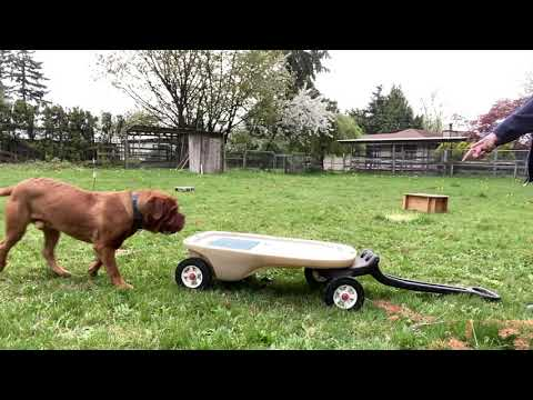 4 weeks with Henry the Dogue De Bordeaux!