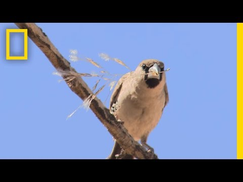 These Birds Build Big Nests. It Doesn't End Well.   National Geographic