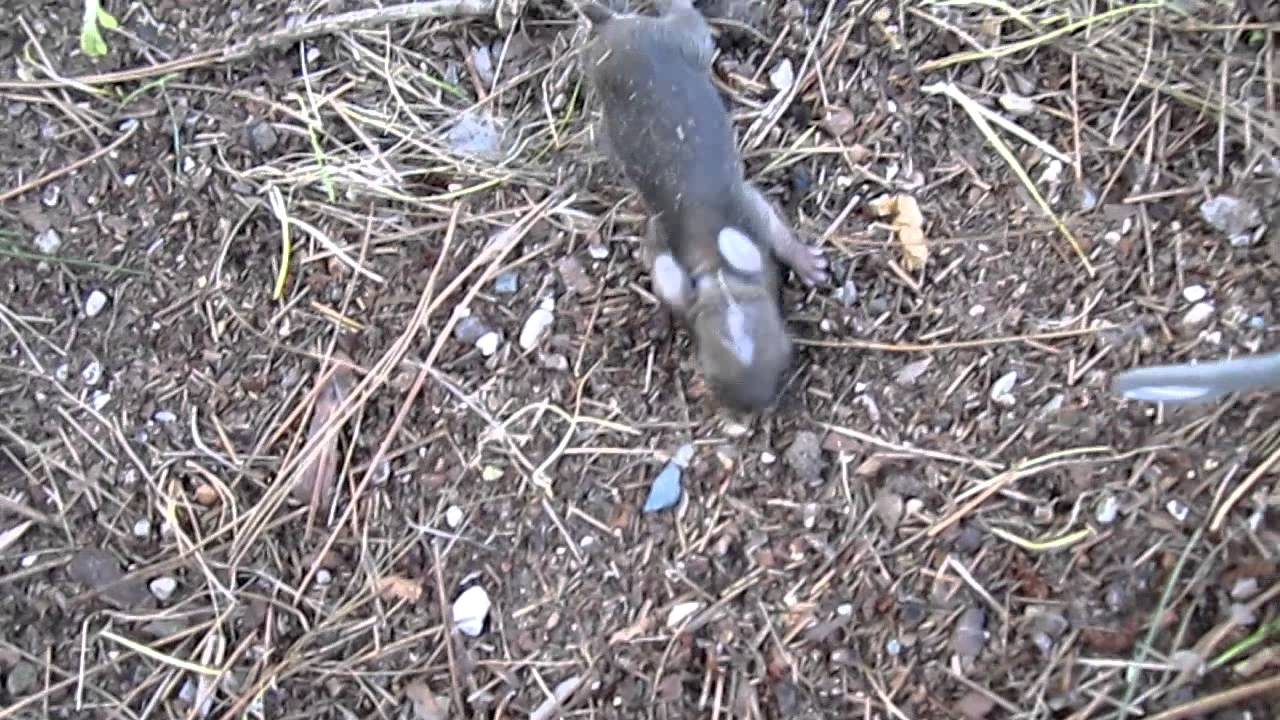 Not Rats Baby Bunny Rabbits Found!