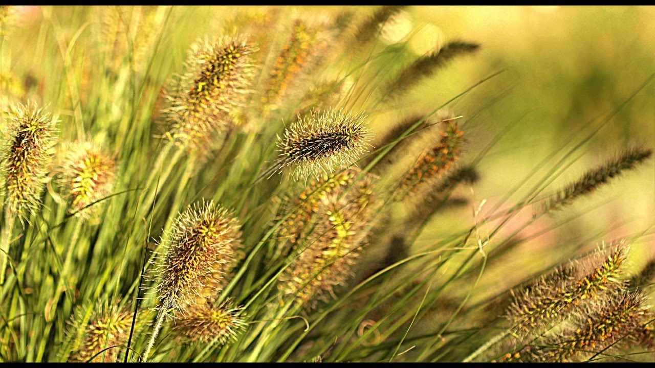 Reed Grass in the Wind - Nature sounds, Relaxing wind sounds