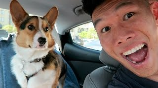Taking My Corgi On The Road - Life After College: Ep. 427