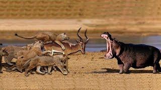 印象 ! 3匹のライオン vs 100野生のバッファロー.