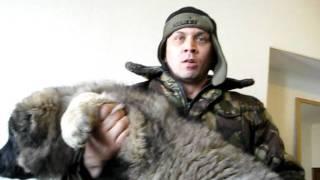 щенок кавказца 2 месяца