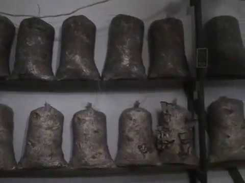 Вешенки на пнях: выращивание в домашних условиях