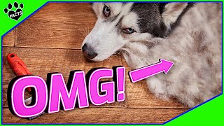 Top 10 Dogs That Shed The Most  OMG the Fur!