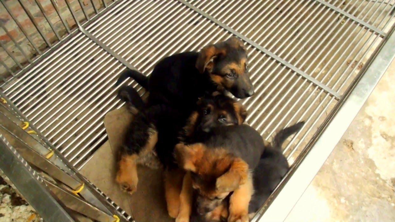 Bán chó becgie đức 2 tháng tuổi Bmẹ ngoại – đt 0984108983