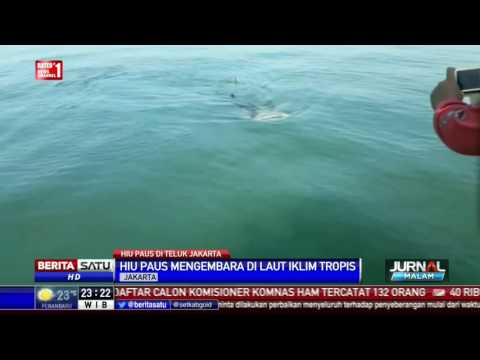 Hiu Paus Muncul di Teluk Jakarta