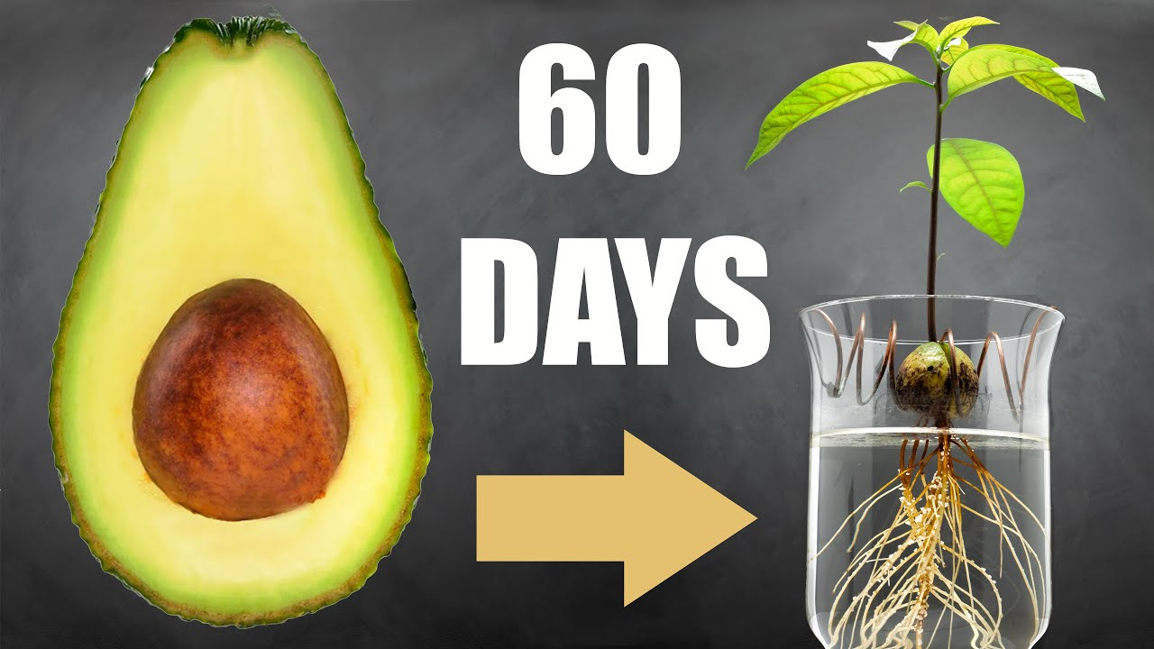 🥑 Avocado Tree from Seed in Water  9 Days Time Lapse