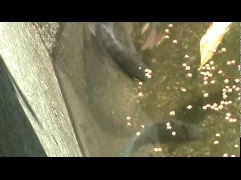 Como criar mojarra tilapia apareamiento y reproduccion 5 for Como criar mojarras