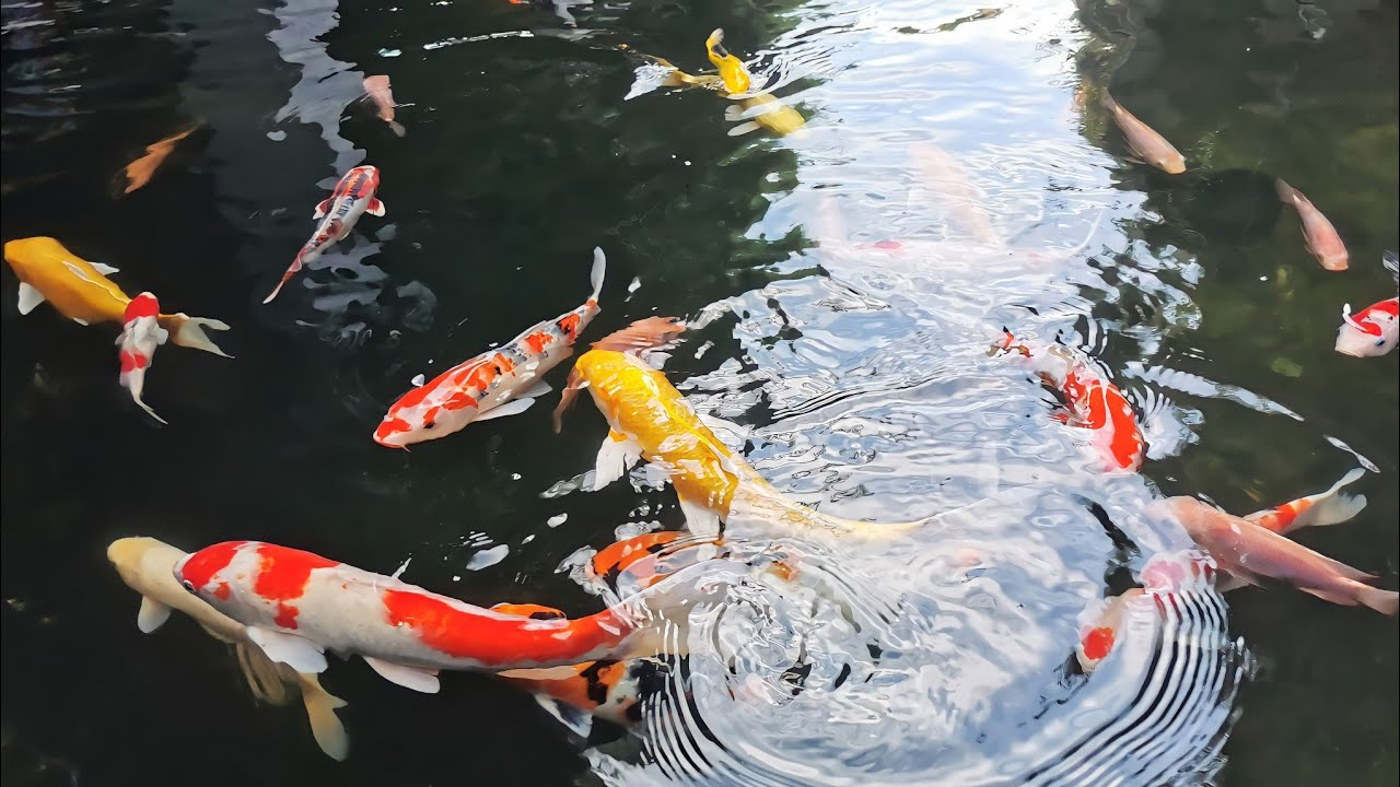 ราคาปลาคาร์ฟ ตัวละ5-10บาท เเหล่งซื้อปลาคาร์ฟราคาถูก #เลี้ยงปลาคาร์ฟ ปลานำโชค
