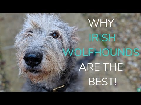 Why Irish Wolfhounds Are The Best!