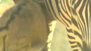 Rare Zebra And Donkey Cross-breed Born In China.