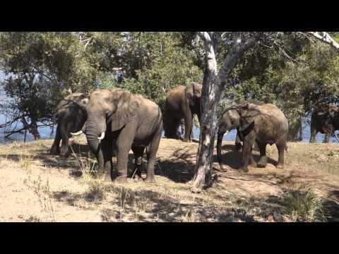 Big Herd of Elephants, Mosi-oa-Tunya National Park, Zambia   Southern Africa 1