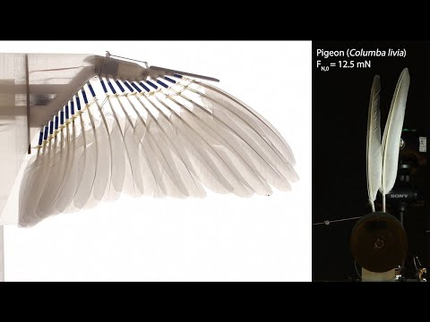 video: Birds contain 'natural Velcro' which sticks feathers together and creates a fixed wing