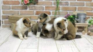 関西シェットランドシープドッグ子犬販売→ http://www.atwan.net/search...