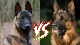Belgian Malinois VS German Shepherd : Who Will You Choose??