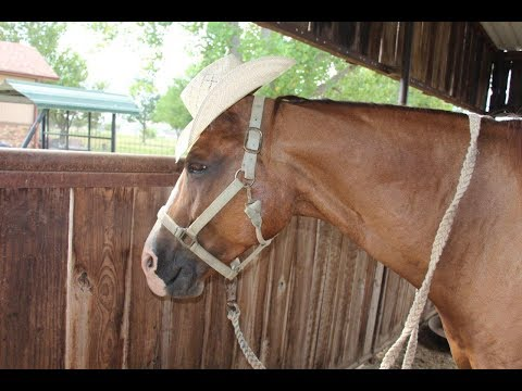 Registered Sorrel Gelding For Sale - Horse in Krum, TX