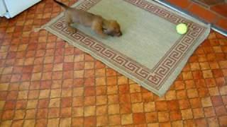 Charlie the Daschund Puppy Needs Housetraining!
