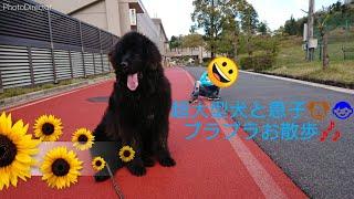 息子とBOSS君と3人でお散歩   いっぱい走ってお疲れ   Ultra large dog ...