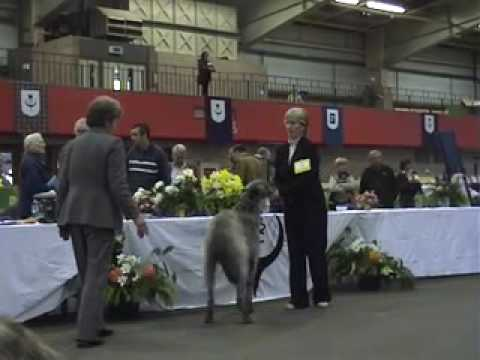 Scottish Deerhounds at Scottish Breed Show
