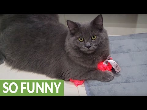 Cat Caught Red-Handed When Stealing Underwear!