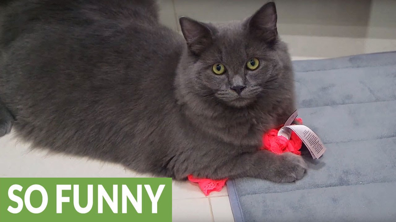 02f2f0d851c2 Cat caught on camera stealing owner's underwear - YouTube