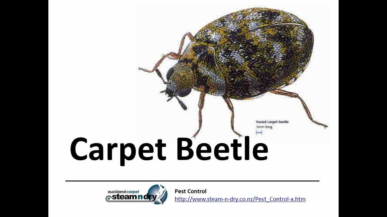 Pest Control How to treat Carpet Beetle