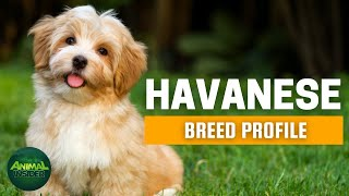 "Havanese Dogs 101 | Why is it called the ""Velcro Dog""?"