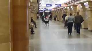 Собака в метро Спасская Санкт-Петербург. 28.08.2014