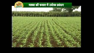 Know about scientific cultivation of corn