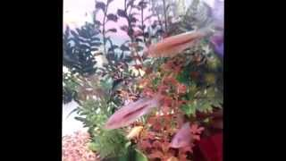 Freshwater Aquariums Designed, Installed And Maintained By Blue Planet Aquarium Services