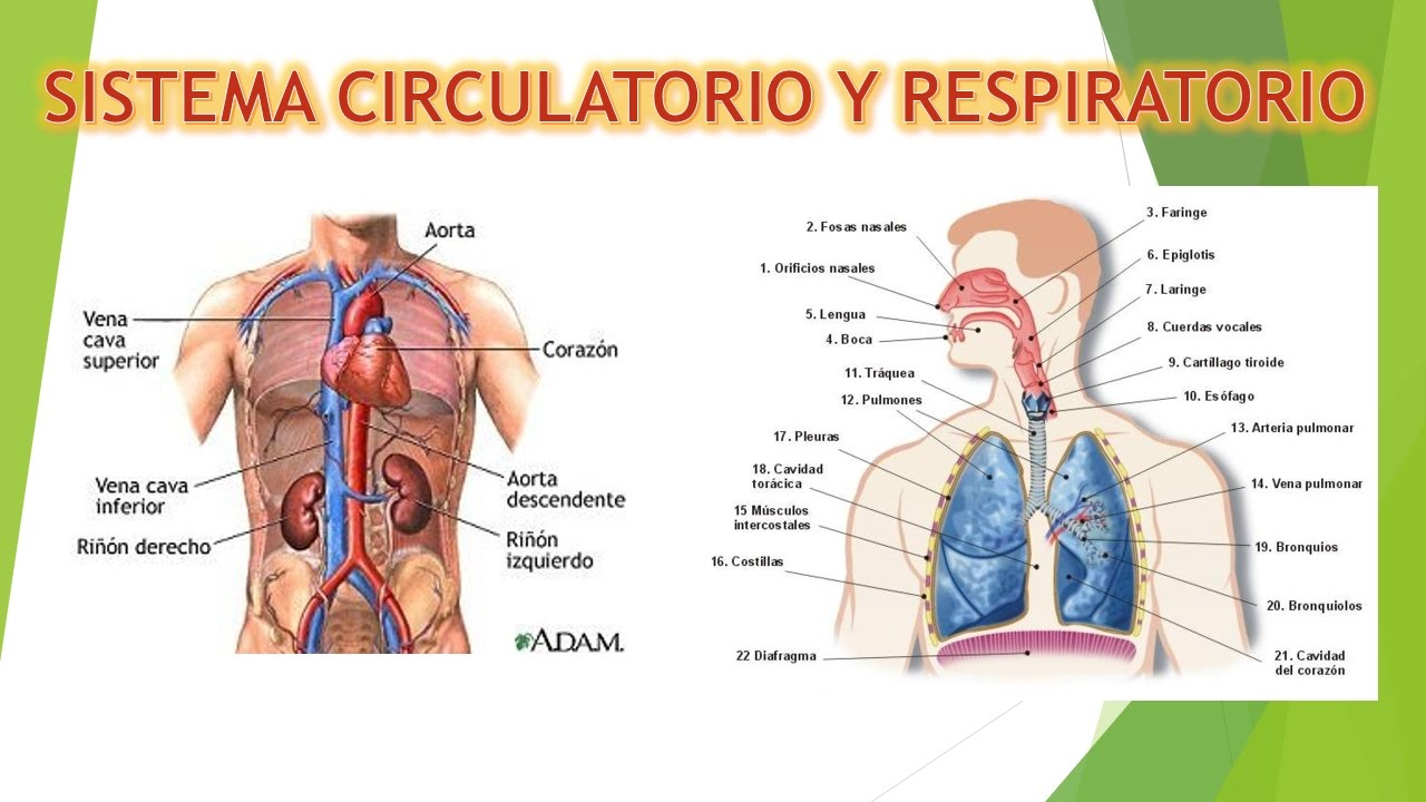 SISTEMA RESPIRATORIO Y CIRCULATORIO - PRESENTACION POWERPOINT - YouTube