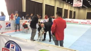 Jakarta Dog Show Siberian Husky Baby (hazelnut)