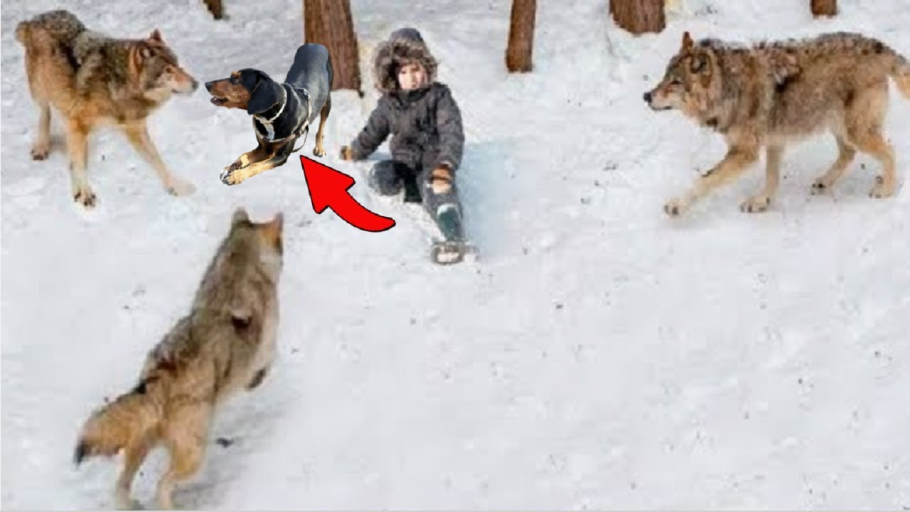 Brave Dog Sacrificed its own life to Protect 10 years old  kid from a Wolf!!!