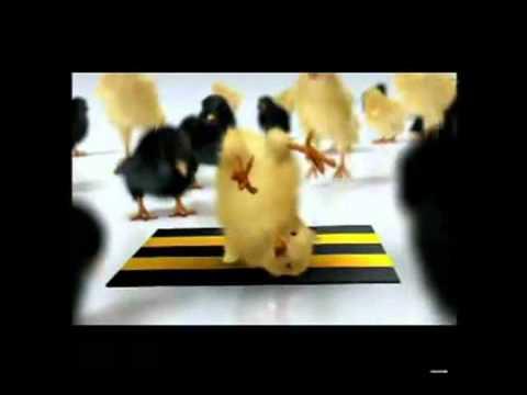 gà mà ko gáy là con gà con.wmv