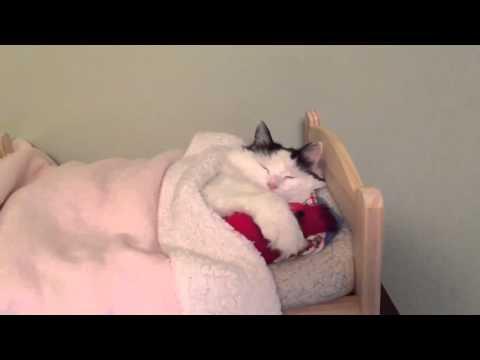 Cat Sleeps in Tiny Human Bed